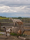 Four goats in a pen Stock Photography