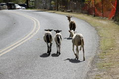 Four Goats on the Road on St. John, USVI Stock Photography