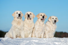 Four golden retriever dogs sitting outdoors in winter Stock Photo