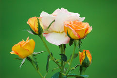 Four (4) golden roses around a white / pink rose Royalty Free Stock Image