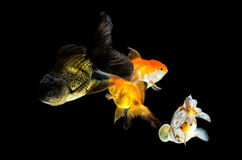 Four  Goldfish swimming Royalty Free Stock Images