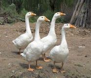Four Gooses Stock Photos