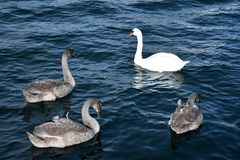 Four gorgeous swans at sea stock photos