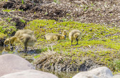 Four Goslings Stock Image
