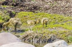 Four Goslings stock image