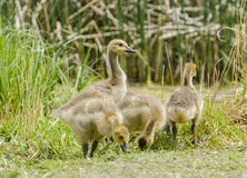 Four Goslings Royalty Free Stock Photos
