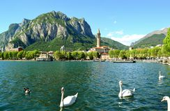 Four graceful white swans and ducks swimming in lake Como in sunny summer day. Royalty Free Stock Photos