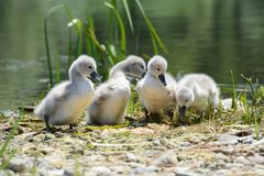 Baby swans of a lake shore. Four gray white baby swans on the shore of the lake royalty free stock photo
