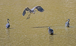 Four Great Blue Herons, one in flight. Stock Photo