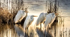 Stunning Great White Egret morning glory stock photos