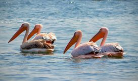 Free Four Great White African Pelicans The Are Birds In The Pelican Family. Stock Photography - 158062892