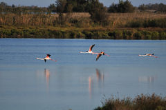 Four greater flamingos flying low over water Royalty Free Stock Images