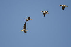 Four Greater White-Fronted Geese Flying in a Blue Sky Stock Photos