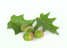 Four green acorn Stock Photo