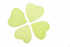 Four green heart shaped skeleton leaves on white Royalty Free Stock Photo