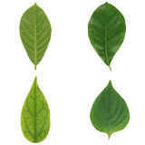 Four green leaf isolated Stock Photo