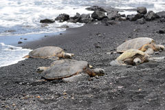 Four green sea turtles on Punaluu Black Sand Beach Royalty Free Stock Images