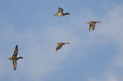 Four Green-Winged Teals Flying in a Cloudy Sky Royalty Free Stock Photography