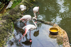 Four greet white flamingos. Stock Photo