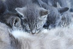 Four grey kittens is sucking mother Stock Images