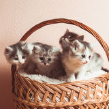 Four grey kittens Stock Images