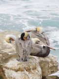 Four Pelicans. Four grey and tan pelicans huddled together on an outcropping of rocks by the sea stock photos