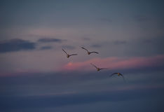 Four Greylag Geese Flying at Sunset Stock Photos