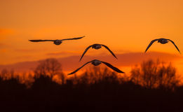 Four Greylag Geese Flying Into The Sunset Stock Photography