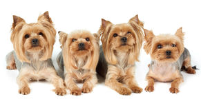 Four groomed dogs over white Royalty Free Stock Images