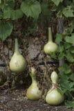 Four Growing Lagenaria Siceraria Bottle Gourd Royalty Free Stock Images