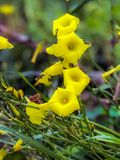 Four Growing Yellow Hawaiian Flowers. A lovely scene created by spring flowers in a home in Central California stock images