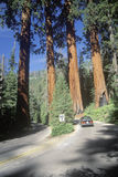 Four Guardian Trees, Sequoia National Park, CA Stock Photo