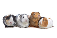 Four Guinea pigs in a row Stock Image