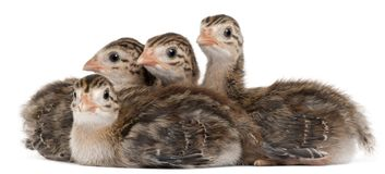 Four Guineafowl, 15 days old, in front of white background. Isolated on white stock photos