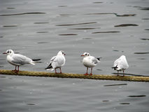 Four gulls Stock Image