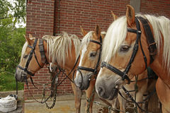 Four haflinger horses. Standing together Stock Image