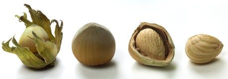Four hazelnuts Stock Images