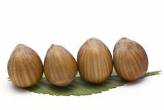 Four hazelnuts on a leaf. Stock Image