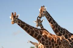 Four head Dragon. Giraffes look like dragon sometimes Royalty Free Stock Images