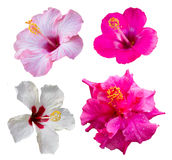 Four hibiscus flowers Royalty Free Stock Photos