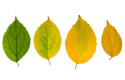 Four high resolution autumn leaves. Isolated on white background Royalty Free Stock Image