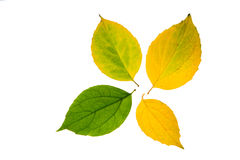 Four high resolution autumn leaves. Isolated on white background Stock Images
