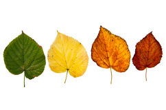 Four high resolution autumn leaves of lime tree. Isolated on white background Royalty Free Stock Photo
