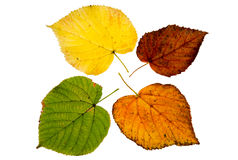 Four high resolution autumn leaves of lime tree Royalty Free Stock Images