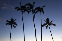 Four High Rise Palm Trees Royalty Free Stock Images