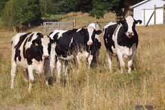 Four Holstein Cows Royalty Free Stock Image