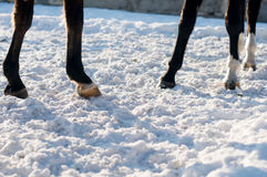 Four hoofs on white snow. Horses with white socks Stock Photography