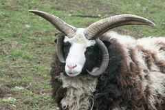 Four-horn ram. An impressive four-horn ram on a green field Royalty Free Stock Image