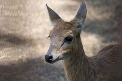 Four horned Antelope Female. Four horned Antelope Tetracerus quadricornis Female Close Shot. It is listed in Vulnerable category of IUCN stock images
