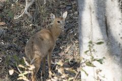 Four-horned antelope standing in the shade among the trees in th. E winter Indian forest Stock Photography
